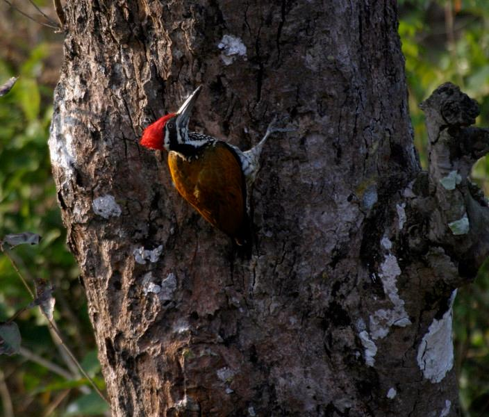 """South Asia is a terrific destination for a great variety of woodpeckers, among them the handsome Greater Flameback, photographed by Northern India participant Ken Havard in Corbett National Park.<div id=""""caption_tourlink"""" align=""""right"""">Link to: <a id=""""caption_tourlink"""" href=""""http://www.fieldguides.com/india.htm"""" target=""""_blank"""">NORTHERN INDIA</a><br>[photo © Ken Havard]</div>"""