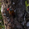 "South Asia is a terrific destination for a great variety of woodpeckers, among them the handsome Greater Flameback, photographed by Northern India participant Ken Havard in Corbett National Park.<div id=""caption_tourlink"" align=""right"">Link to: <a id=""caption_tourlink"" href=""http://www.fieldguides.com/india.htm"" target=""_blank"">NORTHERN INDIA</a><br>[photo © Ken Havard]</div>"