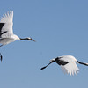 "Red-crowned Cranes: The viewing of this species in the snowfields, dancing, and in flight is one of the world's great wildlife spectacles. [Photo by guide Phil Gregory]<div id=""caption_tourlink"" align=""right"">Link to: <a id=""caption_tourlink"" href=""http://www.fieldguides.com/japan.htm"" target=""_blank"">WINTER JAPAN: CRANES & SEA-EAGLES</a><br>[photo © Phil Gregory]</div>"