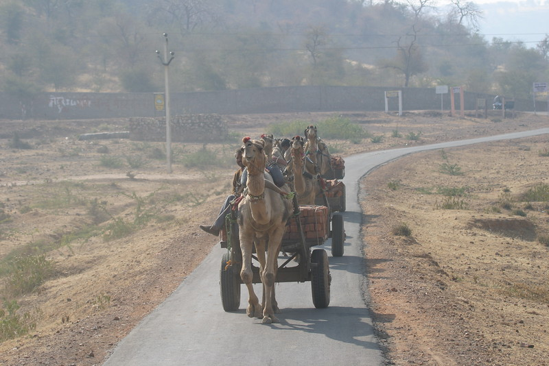 "And while we're on the transportation theme: Camels drawing carts [Photo by participant Ken Havard]<div id=""caption_tourlink"" align=""right"">Link to: <a id=""caption_tourlink"" href=""http://www.fieldguides.com/india.htm"" target=""_blank"">NORTHERN INDIA</a><br>[photo © Ken Havard]</div>"