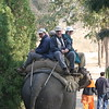 "An elephant ride for Tiger (and the experience, of course!) is almost mandatory at Corbett National Park on our Northern India tour, photographed by participant Ken Havard.<div id=""caption_tourlink"" align=""right"">Link to: <a id=""caption_tourlink"" href=""http://www.fieldguides.com/india.htm"" target=""_blank"">NORTHERN INDIA</a><br>[photo © Ken Havard]</div>"