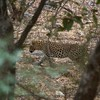 """Leopard is a regular sight in east Africa but less so in Northern India, where participant Ken Havard photographed this one ambling across a dry river bed at Ranthambhore.<div id=""""caption_tourlink"""" align=""""right"""">Link to: <a id=""""caption_tourlink"""" href=""""http://www.fieldguides.com/india.htm"""" target=""""_blank"""">NORTHERN INDIA</a><br>[photo © Ken Havard]</div>"""