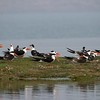 """A group of Indian Skimmers along the Chambal River on our Northern India tour was a great sighting of this increasingly uncommon species, photographed by participant Ken Havard.<div id=""""caption_tourlink"""" align=""""right"""">Link to: <a id=""""caption_tourlink"""" href=""""http://www.fieldguides.com/india.htm"""" target=""""_blank"""">NORTHERN INDIA</a><br>[photo © Ken Havard]</div>"""