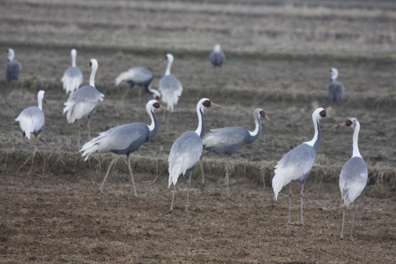 "Classified as Vulnerable with a population estimated to be around 6500 birds, of which around 3000 came to Arasaki this winter, White-naped Cranes are another highlight of our Winter Japan: Cranes & Sea-Eagles tour.<div id=""caption_tourlink"" align=""right"">Link to: <a id=""caption_tourlink"" href=""http://www.fieldguides.com/japan.htm"" target=""_blank"">WINTER JAPAN: CRANES & SEA-EAGLES</a><br>[photo © Phil Gregory]</div>"