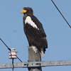 "Steller's Sea-Eagle, Notsuke, on our Winter Japan tour: It's not your average powerline pole bird!<div id=""caption_tourlink"" align=""right"">Link to: <a id=""caption_tourlink"" href=""http://www.fieldguides.com/japan.htm"" target=""_blank"">WINTER JAPAN: CRANES & SEA-EAGLES</a><br>[photo © Phil Gregory]</div>"