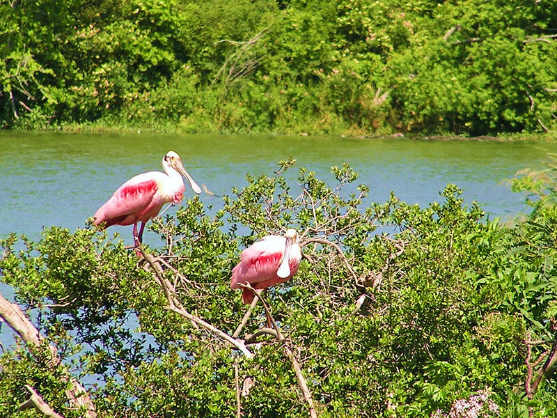 "Wading bird rookeries with such brilliant species as Roseate Spoonbills are a must-see stop on our Texas Coast Migration Spectacle tours. Participant Peter Heilbroner captured this image.<div id=""caption_tourlink"" align=""right"">Link to: <a id=""caption_tourlink"" href=""http://www.fieldguides.com/mig.htm"" target=""_blank"">TEXAS COAST MIGRATION SPECTACLE</a><br>[photo © Peter Heilbroner]</div>"
