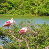 """Wading bird rookeries with such brilliant species as Roseate Spoonbills are a must-see stop on our Texas Coast Migration Spectacle tours. Participant Peter Heilbroner captured this image.<div id=""""caption_tourlink"""" align=""""right"""">Link to: <a id=""""caption_tourlink"""" href=""""http://www.fieldguides.com/mig.htm"""" target=""""_blank"""">TEXAS COAST MIGRATION SPECTACLE</a><br>[photo © Peter Heilbroner]</div>"""