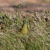 "An endemic Rock Parrot peeks out of the grass near the lighthouse at Cape Leeuwin, the most southwesterly point of the Australian mainland, where the Indian and Southern oceans meet.  <div id=""caption_tourlink"" align=""right""> [Photo © participant Marshall Dahl]</div>"
