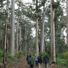 "Karri trees are eucalypts that grow to be some of the tallest trees in the world, with some reaching more than 250 feet. Here our group is exploring the karri forest in Porongurup National Park, Western Australia. <div id=""caption_tourlink"" align=""right""> [Photo © participant Marshall Dahl]</div>"