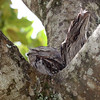 """A pair of Tawny Frogmouths blends in almost perfectly, also in Queensland. <div id=""""caption_tourlink"""" align=""""right""""> [Photo © participant Colin Campbell]</div>"""