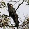"...the Short-billed Black-Cockatoo. <div id=""caption_tourlink"" align=""right""> [Photo © participant Marshall Dahl]</div>"