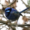"Blue-breasted Fairywren, one of 14 species of these engaging birds from Lovely to Splendid to Superb in this endemic Australasian bird family.<div id=""caption_tourlink"" align=""right""> [Photo © participant Marshall Dahl]</div>"