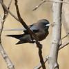 "A handsome portrait of a Dusky Woodswallow <div id=""caption_tourlink"" align=""right""> [Photo © participant Marshall Dahl]</div>"