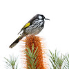 "A sharp-looking New Holland Honeyeater, reputed to be the first bird from Australia to described to science as the cataloging of Australia's wildlife began. <div id=""caption_tourlink"" align=""right""> [Photo © participant Marshall Dahl]</div>"