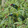 "A pair of endemic Golden-naped Barbets feeding at roadside in the Crocker Range, Borneo 2009 <div id=""caption_tourlink"" align=""right""> [Photo © Richard Webster]</div>"