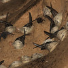 "Here are just a very few of the Edible-nest Swiftlets sitting on their distinctive white-cup nests—constructed almost entirely of saliva—in the caves. <div id=""caption_tourlink"" align=""right""> [Photo © Richard Webster]</div>"