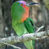 """The almost unbelievable Red-bearded Bee-eater, photographed from the canopy walkway at Sepilok Rainforest Discovery Center <div id=""""caption_tourlink"""" align=""""right""""> [Photo © Rose Ann Rowlett]</div>"""