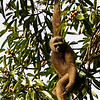 """...and, to complete our series from the 2009 Borneo tour, a Gray (Bornean) Gibbon at Borneo Rainforest Lodge.  Next up... <div id=""""caption_tourlink"""" align=""""right""""> [Photo © participant Marcel Holyoak]</div>"""