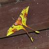 "Malaysian Moon Moth <div id=""caption_tourlink"" align=""right""> [Photo © participants David & Judy Smith]</div>"