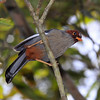 """Chestnut-capped Laughingthrush, Kinabalu: this race, <i>treacheri</i>, is split as a Bornean endemic by most authorities. In any case, it's a beauty, vocal, and often leading mixed-species bird flocks. <div id=""""caption_tourlink"""" align=""""right""""> [Photo © Richard Webster]</div>"""