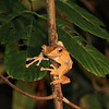 "File-eared Tree Frog, one of several endemic amphibians to be seen on our night drives at Borneo Rainforest Lodge <div id=""caption_tourlink"" align=""right""> [Photo © Richard Webster]</div>"