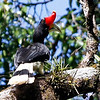 "...and Rhinoceros Hornbill perched, showing off its amazing casque, at Borneo Rainforest Lodge in the first of several Borneo images in this gallery by participant Marcel Holyoak. <div id=""caption_tourlink"" align=""right""> [Photo © participant Marcel Holyoak]</div>"