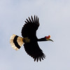 "Rhinoceros Hornbill in full glory in flight, Tenangang River, Kinabatangan <div id=""caption_tourlink"" align=""right""> [Photo © Richard Webster]</div>"
