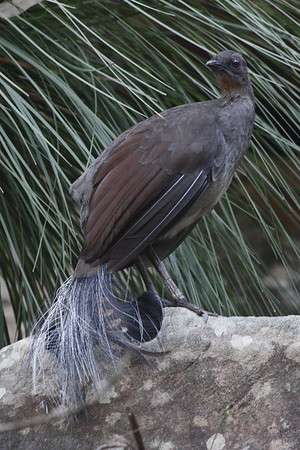 "This Superb Lyrebird, the world's largest passerine, put on a great show for us at Royal National Park near Sydney.<div id=""caption_tourlink"" align=""right"">Link to: <a id=""caption_tourlink"" href=""http://www.fieldguides.com/australia.htm"" target=""_blank"">AUSTRALIA</a><br>[photo © guide Chris Benesh]</div>"
