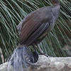 """This Superb Lyrebird, the world's largest passerine, put on a great show for us at Royal National Park near Sydney.<div id=""""caption_tourlink"""" align=""""right"""">Link to: <a id=""""caption_tourlink"""" href=""""http://www.fieldguides.com/australia.htm"""" target=""""_blank"""">AUSTRALIA</a><br>[photo © guide Chris Benesh]</div>"""