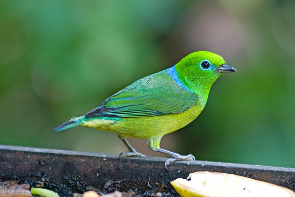 "And let's wrap it up with a little eye-candy by Hop.  When a Blue-naped Chlorophonia shows up at the fruit feeders at Serra dos Tucanos Lodge, it's everybody out to see it!  We'll be back next month with a fresh batch of pics from the field.  Till then, good birding!<div id=""caption_tourlink"" align=""right"">Link to: <a id=""caption_tourlink"" href=""http://www.fieldguides.com/brazilshort.htm"" target=""_blank"">SERRA DOS TUCANOS, BRAZIL</a><br>[photo © participant Hop Hopkins]</div>"