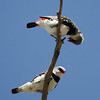 """A pair of Diamond Firetails in courtship display at Whimpey's.<div id=""""caption_tourlink"""" align=""""right"""">Link to: <a id=""""caption_tourlink"""" href=""""http://www.fieldguides.com/australia.htm"""" target=""""_blank"""">AUSTRALIA</a><br>[photo © guide Chris Benesh]</div>"""