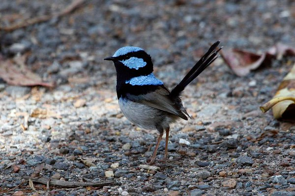 """We begin this month's batch of recent photos from our tours by visiting Australia in some photographs sent in by guides Chris Benesh and Dave Stejskal.  Here, a male Superb Fairywren prances around in the carpark at Royal National Park south of Sydney.<div id=""""caption_tourlink"""" align=""""right"""">Link to: <a id=""""caption_tourlink"""" href=""""http://www.fieldguides.com/australia.htm"""" target=""""_blank"""">AUSTRALIA</a><br>[photo © guide Chris Benesh]</div>"""