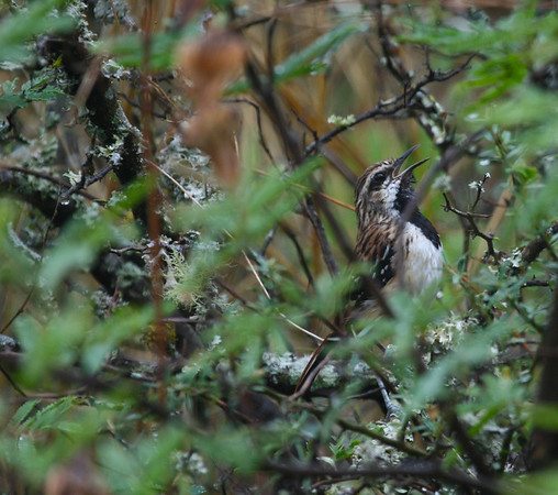 "Stripe-backed Antbird, a striking inhabitant of the <i>chaco</i>, a special region comprised of dry, thorny habitats.<div id=""caption_tourlink"" align=""right"">Link to: <a id=""caption_tourlink"" href=""http://www.fieldguides.com/argentnorthwest.htm"" target=""_blank"">NORTHWESTERN ARGENTINA</a><br>[photo © guide Dave Stejskal]</div>"