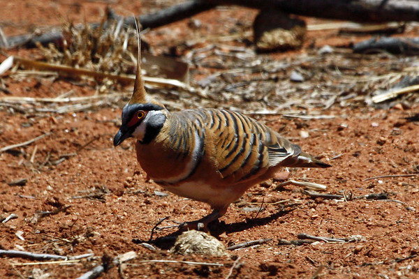 "...where we find another sought-after species of Australia's outback, the distinctive Spinifex Pigeon.  This one was photographed near Alice Springs.<div id=""caption_tourlink"" align=""right"">Link to: <a id=""caption_tourlink"" href=""http://www.fieldguides.com/australia.htm"" target=""_blank"">AUSTRALIA</a><br>[photo © guide Chris Benesh]</div>"