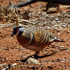 """...where we find another sought-after species of Australia's outback, the distinctive Spinifex Pigeon.  This one was photographed near Alice Springs.<div id=""""caption_tourlink"""" align=""""right"""">Link to: <a id=""""caption_tourlink"""" href=""""http://www.fieldguides.com/australia.htm"""" target=""""_blank"""">AUSTRALIA</a><br>[photo © guide Chris Benesh]</div>"""