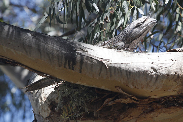 "A Tawny Frogmouth nesting at Whimpey's Little Desert Lodge.  Frogmouths are cryptically patterned nightbirds, the Old World counterparts of potoos.<div id=""caption_tourlink"" align=""right"">Link to: <a id=""caption_tourlink"" href=""http://www.fieldguides.com/australia.htm"" target=""_blank"">AUSTRALIA</a><br>[photo © guide Chris Benesh]</div>"
