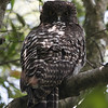 "This Powerful Owl gives an intimidating stare as it looks after the welfare of nearby young.<div id=""caption_tourlink"" align=""right"">Link to: <a id=""caption_tourlink"" href=""http://www.fieldguides.com/australia.htm"" target=""_blank"">AUSTRALIA</a><br>[photo © guide Chris Benesh]</div>"