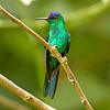"Southeastern Brazil is a great region for some specialty hummingbirds, and many lodges and hotels have great feeders that actively draw in the hummers.  Here, Violet-capped Woodnymph at Serra dos Tucanos Lodge.<div id=""caption_tourlink"" align=""right"">Link to: <a id=""caption_tourlink"" href=""http://www.fieldguides.com/brazilshort.htm"" target=""_blank"">SERRA DOS TUCANOS, BRAZIL</a><br>[photo © participant Hop Hopkins]</div>"