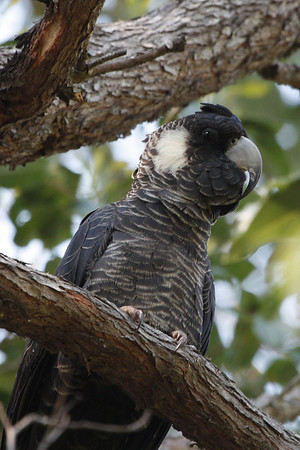"Baudin's or Long-billed Black-Cockatoo perches in a marri tree in southwestern Australia.<div id=""caption_tourlink"" align=""right"">Link to: <a id=""caption_tourlink"" href=""http://www.fieldguides.com/australia.htm"" target=""_blank"">AUSTRALIA</a><br>[photo © guide Chris Benesh]</div>"