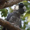 """Baudin's or Long-billed Black-Cockatoo perches in a marri tree in southwestern Australia.<div id=""""caption_tourlink"""" align=""""right"""">Link to: <a id=""""caption_tourlink"""" href=""""http://www.fieldguides.com/australia.htm"""" target=""""_blank"""">AUSTRALIA</a><br>[photo © guide Chris Benesh]</div>"""