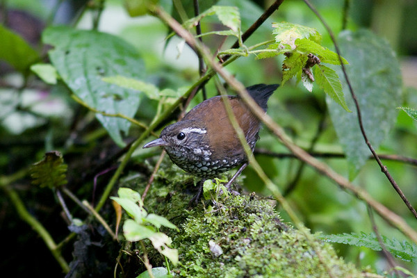 "Sharp-tailed Streamcreeper at Serra dos Tucanos Lodge: a bird with a widespread but disjunct distribution in South America, this one can often be very tough to see well.<div id=""caption_tourlink"" align=""right"">Link to: <a id=""caption_tourlink"" href=""http://www.fieldguides.com/brazilshort.htm"" target=""_blank"">SERRA DOS TUCANOS, BRAZIL</a><br>[photo © participant Hop Hopkins]</div>"