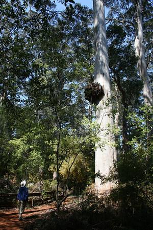 "Birding among the giants of the karri forest...<div id=""caption_tourlink"" align=""right"">Link to: <a id=""caption_tourlink"" href=""http://www.fieldguides.com/australia.htm"" target=""_blank"">AUSTRALIA</a><br>[photo © guide Dave Stejskal]</div>"
