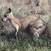 """The inland form of Common Wallaroo, known as the Euro, that favors rocky grasslands in the arid interior of Australia.<div id=""""caption_tourlink"""" align=""""right"""">Link to: <a id=""""caption_tourlink"""" href=""""http://www.fieldguides.com/australia.htm"""" target=""""_blank"""">AUSTRALIA</a><br>[photo © guide Chris Benesh]</div>"""