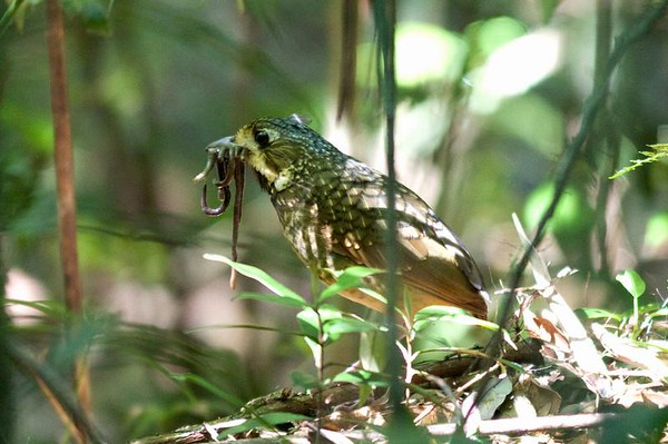 "A Variegated Antpitta in Serra dos Orgaos NP -- the low hooting song of this species is heard regularly at dawn, but actually seeing one is a special occasion...amazing that Hop got an image!<div id=""caption_tourlink"" align=""right"">Link to: <a id=""caption_tourlink"" href=""http://www.fieldguides.com/brazilshort.htm"" target=""_blank"">SERRA DOS TUCANOS, BRAZIL</a><br>[photo © participant Hop Hopkins]</div>"