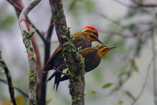 "Yellow-browed Woodpeckers are among a good variety of colorful woodpeckers to be discovered in the Atlantic Forest.<div id=""caption_tourlink"" align=""right"">Link to: <a id=""caption_tourlink"" href=""http://www.fieldguides.com/brazilshort.htm"" target=""_blank"">SERRA DOS TUCANOS, BRAZIL</a><br>[photo © participant Hop Hopkins]</div>"