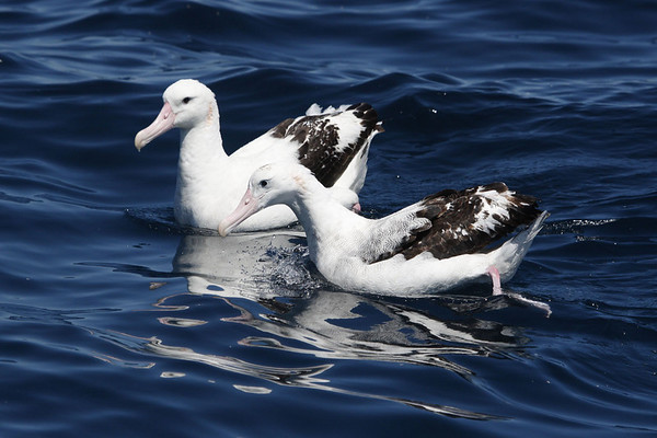 "...en route to spotting Wandering Albatrosses (subspecies <i>gibsoni</i>) and various other pelagic species.  We offer the Sydney pelagic as part of a pre-tour extension.<div id=""caption_tourlink"" align=""right"">Link to: <a id=""caption_tourlink"" href=""http://www.fieldguides.com/australia.htm"" target=""_blank"">AUSTRALIA</a><br>[photo © guide Chris Benesh]</div>"