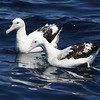 """...en route to spotting Wandering Albatrosses (subspecies <i>gibsoni</i>) and various other pelagic species.  We offer the Sydney pelagic as part of a pre-tour extension.<div id=""""caption_tourlink"""" align=""""right"""">Link to: <a id=""""caption_tourlink"""" href=""""http://www.fieldguides.com/australia.htm"""" target=""""_blank"""">AUSTRALIA</a><br>[photo © guide Chris Benesh]</div>"""