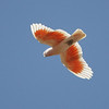 """A bright flash of pink and white signals the arrival of a Major Mitchell (Pink) Cockatoo near Alice Springs.<div id=""""caption_tourlink"""" align=""""right"""">Link to: <a id=""""caption_tourlink"""" href=""""http://www.fieldguides.com/australia.htm"""" target=""""_blank"""">AUSTRALIA</a><br>[photo © guide Chris Benesh]</div>"""
