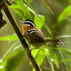 "Bertoni's Antbird is one of several small, attractive bamboo specialists in the genus <i>Drymophila</i> that are common and widespread in the Atlantic Forest of SE Brazil.<div id=""caption_tourlink"" align=""right"">Link to: <a id=""caption_tourlink"" href=""http://www.fieldguides.com/brazilshort.htm"" target=""_blank"">SERRA DOS TUCANOS, BRAZIL</a><br>[photo © participant Hop Hopkins]</div>"
