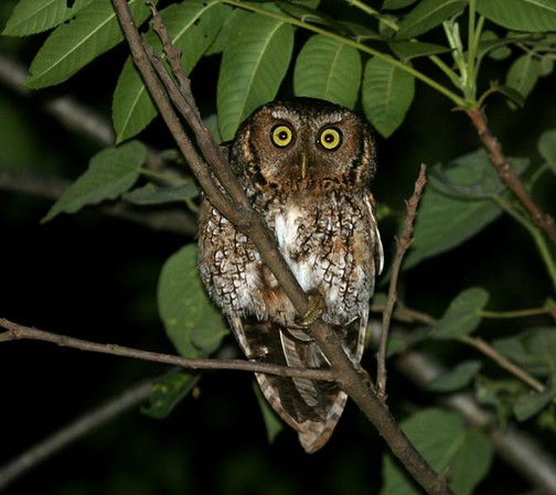 "Our group enjoyed a fine view of Hoy's Screech-Owl.<div id=""caption_tourlink"" align=""right"">Link to: <a id=""caption_tourlink"" href=""http://www.fieldguides.com/argentnorthwest.htm"" target=""_blank"">NORTHWESTERN ARGENTINA</a><br>[photo © guide Dave Stejskal]</div>"